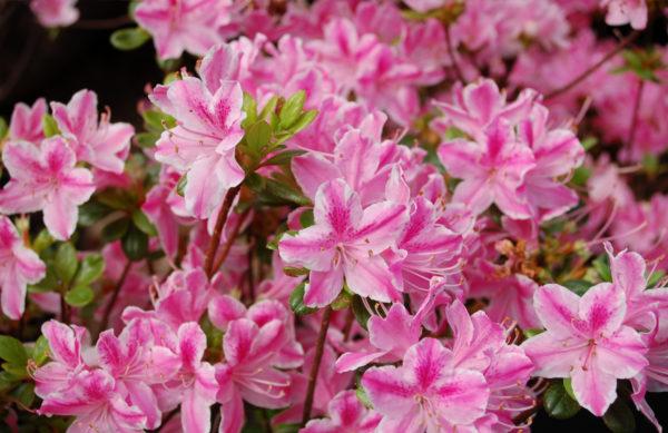 Rhododendron obtonica__Kermesina (Japanische Azalee)