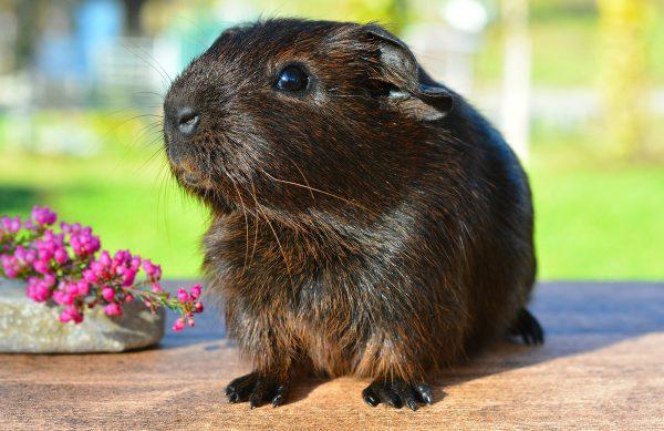 Meerschweinchen, Zwergkaninchen und Hamster - Käfige und Zubehör erhalten Sie bei Rosemeyer in Löningen