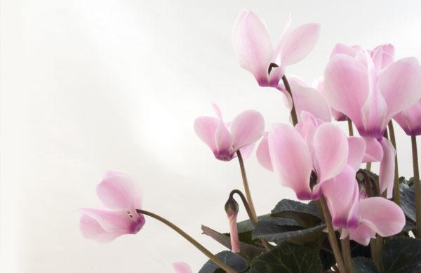 Cyclamen persicum (Alpenveilchen)